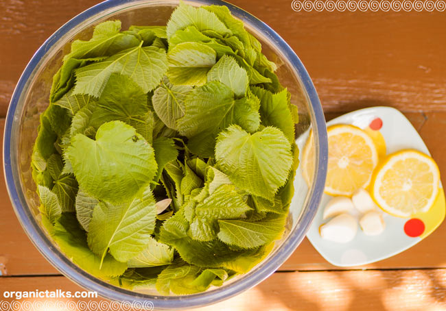 linden leaf salad, free photo, recipe