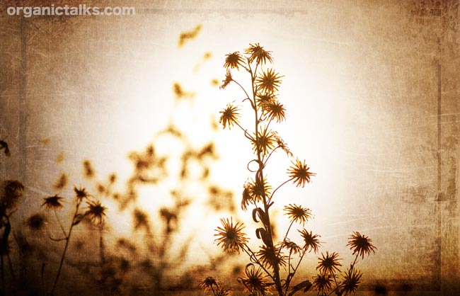 grass silhouettes in sunset with background texture, stanka vukelic, silhouette photography