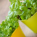 young spinach and parsley growing in pots, spinach salad ideas